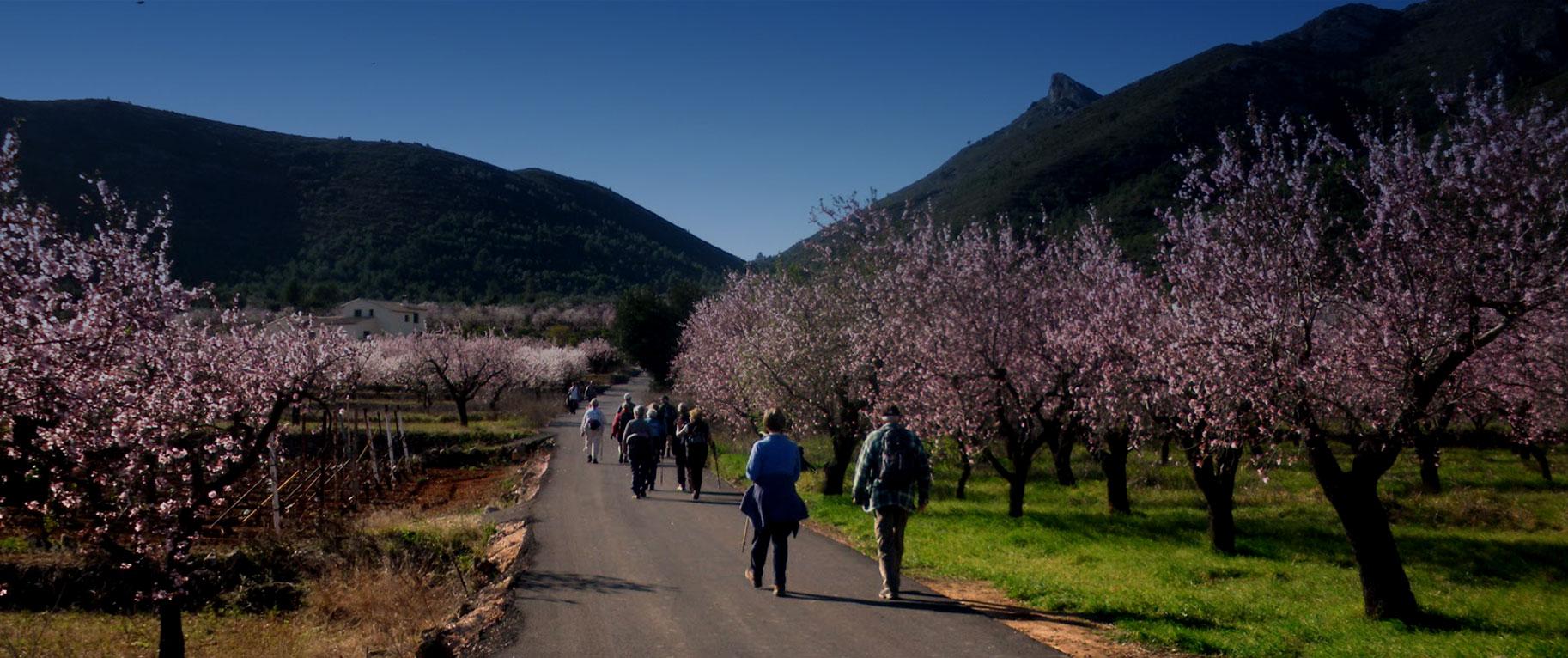 Ruta #AlcalalíEnFlor almendros en flor Feslalí - Alcalalí turismo