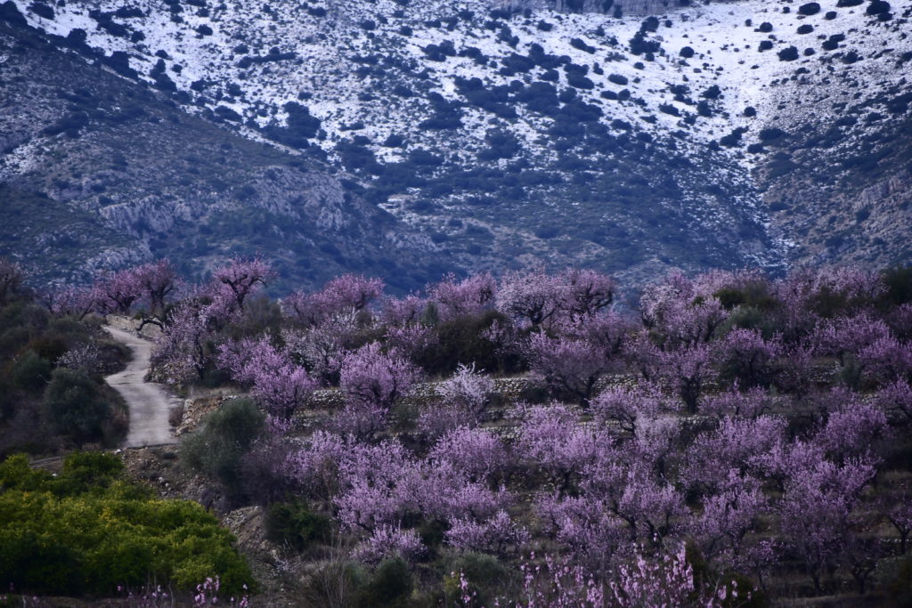 III Maratón Fotográfica Alcalalí en flor - Autor Jaime Boronat Soler - Almendros en flor