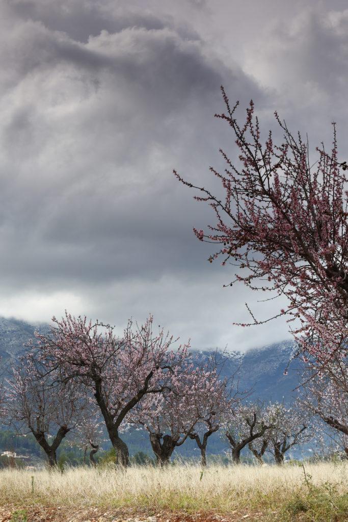 III Maratón Fotográfica Alcalalí en flor - Autor Pedro José Benlloch Nieto - Almendros en flor
