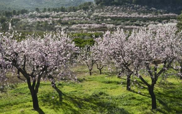 Ruta Alcalalí en flor almendros - Alcalalí turismo