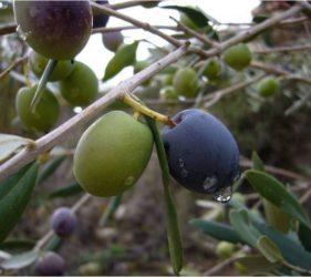 El aceite de oliva - Alcalalí turismo