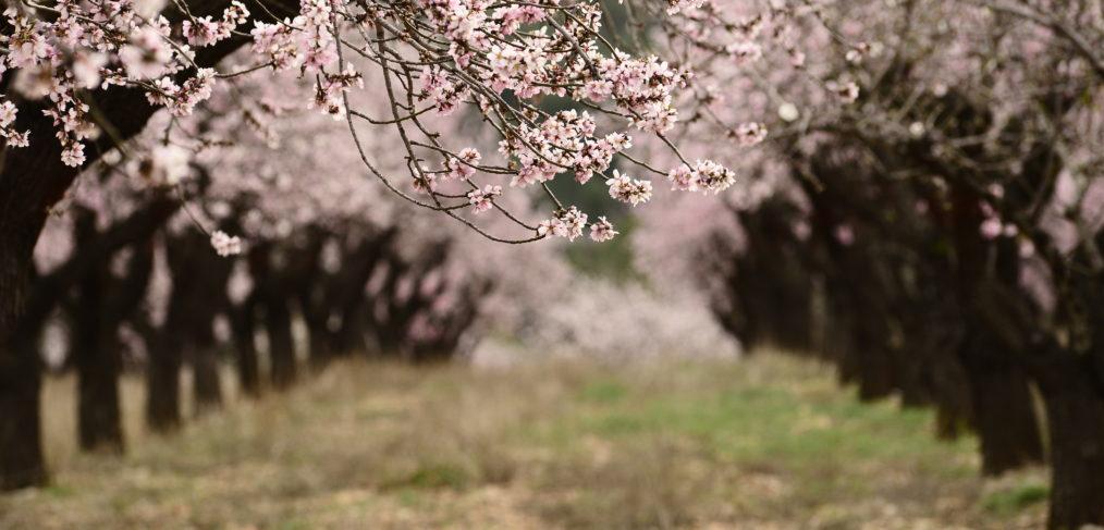 Feslalí - Alcalalí en Flor - Almendros en flor